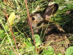 New England cottontail in habitat