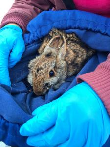 Captured cottontail rabbit