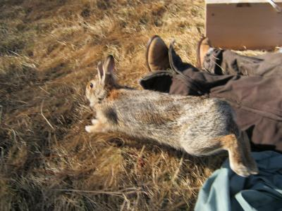 New England cottontail released into habitat