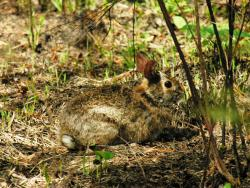 Appalachian cottontail