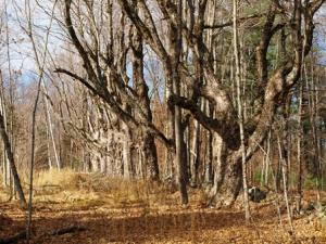 Legacy trees at Farmington River Wildlife Management Area