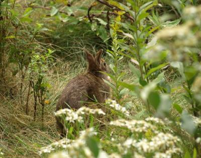 New England cottontail in cover