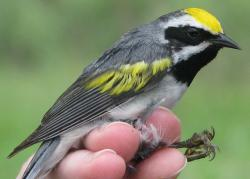 Golden-winged warbler male