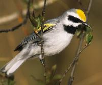 Golden-winged warblers nest and feed in young-forest habitat.