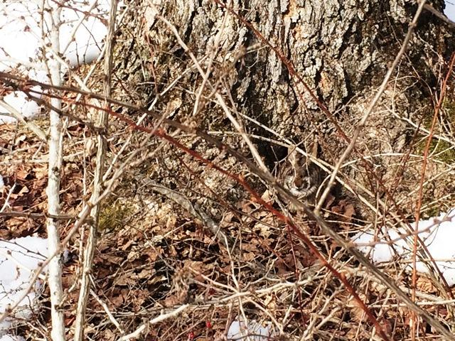 New England cottontail hiding