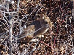 New England cottontail in young-forest habitat