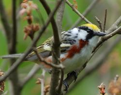 Chestnut-sided warblers use New England cottontail habitat