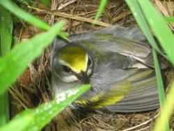 Female golden-winged warbler on nest.