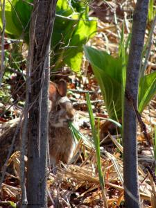 New England cottontail feeding