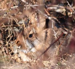 New England cottontail