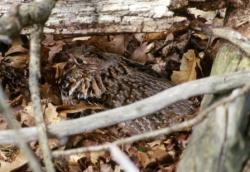 Ruffed grouse hen on nest