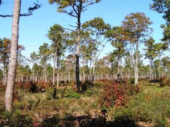 Scrub oak and pitch pine habitat on Cape Cod