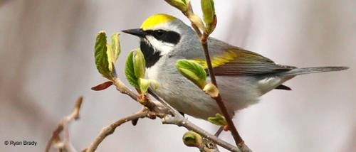 Golden-winged warbler by Ryan Brady
