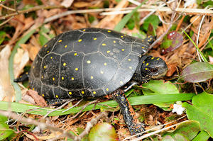 Spotted turtles need young forest