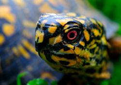Eastern box turtles need young forest.