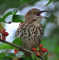 Brown thrasher in young-forest habitat