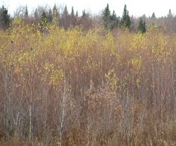 Dense aspen and birch following timber harvest.
