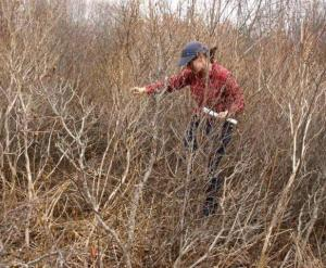 Biologist in New England cottontail habitat