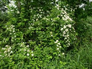multiflora rose, an invasive shrub