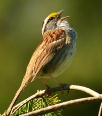 White-throated sparrow by Tom Berriman
