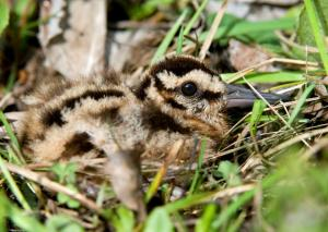 American woodcock chick