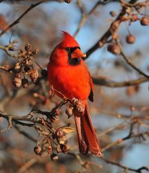 Cardinals feed on berries in young-forest habitat