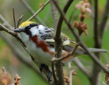 Chestnut-sided warbler in springtime