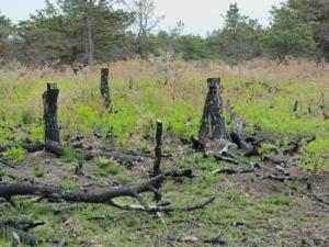 Scrub oak springs back after fire